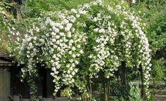 The Ramblerrose 'Bobby James' likes to see house facades or fruit trees … - Do Garden Climbing Rose Plants, White Climbing Roses, House Plants Decor, Plant Decor, Rambler Rose, Tree House Plans, Moon Garden, Planting Roses, Facade House
