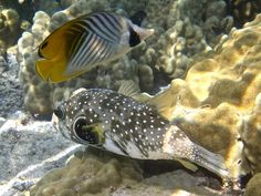 1000 images about fish i 39 ve seen snorkeling on pinterest for Hawaii state fish humuhumunukunukuapua a pronunciation