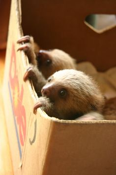 Baby sloths in a box. Awww!!