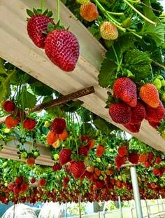 Things I Love About: Strawberry garden