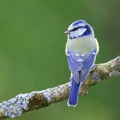 Periwinkle Blue Bird