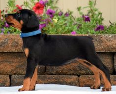 Female doberman puppy for sale. Born: May 24, 2017 (european bloodlines)