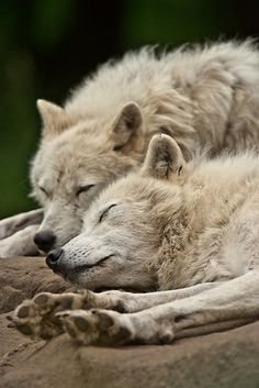 "beautiful-wildlife: ""Peaceful by Michael Cummings "" Wolf Photos, Wolf Pictures, Animal Pictures, Beautiful Wolves, Animals Beautiful, Cute Animals, Wolf Spirit, My Spirit Animal, Sleeping Wolf"