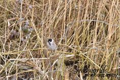 wildlife photography - bird in the reeds