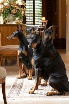 The Doberman Pinscher is among the most popular breed of dogs in the world. Known for its intelligence and loyalty, the Pinscher is both a police- favorite bree Rottweiler, Perro Doberman Pinscher, I Love Dogs, Cute Dogs, Black And Tan Terrier, Sweet Dogs, Doberman Love, Amor Animal, Akita