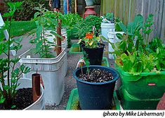 More Container Gardening http://pinterest.com/wineinajug/container-gardening/ Varieties for Organic Vegetable Container Gardening: those with a compact growth habit. Dwarf, determinate or bush varieties of larger vegetable plants such as peas, peppers, eggplant, tomatoes, and cucumbers can be grown successfully in containers. Special varieties of beets, carrots, and bush beans do better than others based on their ability to size up quickly.