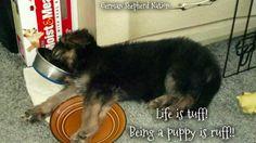 Nap time #german #shepherd #dog