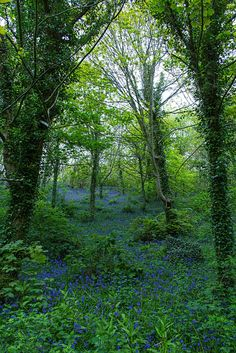 Bluebell Arch, Motistone Manor, Isle of Wight by There and back again~~ Ile De Wight, Tree Forest, Haunted Forest, Wales, Beautiful Places To Live, England Ireland, Walk In The Woods, English Countryside, British Isles