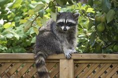 Do mothballs repel skunks? What about epsom salts? If you're wondering how to get rid of raccoons, how to get rid of possums, and how to get rid of skunks in your yard, then keep reading for some tips. Raccoon Repellent, Squirrel Repellant, Getting Rid Of Raccoons, Skunk Smell, Dog Smells, Garden Animals, Pet Odors, Racoon, Dog Runs