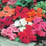 Impatiens ~ The flowers have a sweet flavor. They can be used as a garnish in salads or floated in drinks.