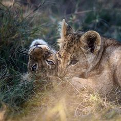 "141 Likes, 2 Comments - Gabi Guiard Photography (@gabi_guiard) on Instagram: ""Brotherhood #african_portraits #wildlifephotography #animal_sultans #wildlifephotographer #safari…"""