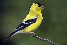 American Yellow Finch