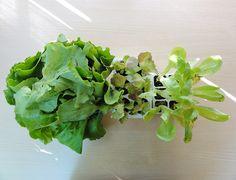 Piantine insalata, lattuga. L'Orto di Martina. Orto in Vaso! #orto #rubrica #vaso #OrtoInVaso #insalata #lattuga #vegangame http://www.vegangame.it/orto-di-martina/lorto-di-martina-inizia-la-nuova-rubrica-con-lorto-in-vaso-for-dummies