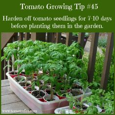 How to harden off tomato plants to prepare them for the home garden Tomato Growing Tip harden off tomato seedlings for days before planting and other helpful gardening tips for tomatoes with Tomato Dirt Growing Tomatoes Indoors, Growing Tomatoes From Seed, Growing Tomato Plants, Tomato Seedlings, Growing Tomatoes In Containers, Tomato Seeds, Growing Vegetables, Grow Tomatoes, Tomato Tomato