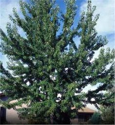Fast-Growing Tree | Silver Maple - Acer saccharinum