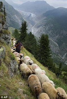The sheep had been grazing high above the Aletsch glacier in Switzerland --doesn't quite look like Heidi but I expect her to appear Alpacas, Sheep Farm, Sheep And Lamb, The Sheep, Farm Animals, Animals And Pets, Cute Animals, Beautiful Creatures, Animals Beautiful