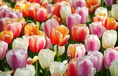 Szép színes tulipánok Hollandiából a Hamperium Photography-ből