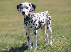 Amazing dalmatian dog