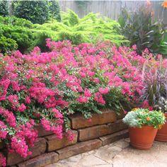 Crape Myrtle Varieties and Guide Small Gardens, Outdoor Gardens, Buy Trees Online, Dwarf Plants, Myrtle Tree, Lagerstroemia, Australian Garden, Annual Flowers, Plant Nursery