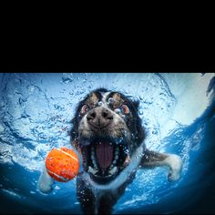 Underwater Dogs is a best seller book by award-winning photographer Seth Casteel. The book contains over 80 unique and exhilarating photographs of dogs underwater in pursuit of a ball. The pictures give us another view of our old friends dete Underwater Dogs, Underwater Photos, Underwater Photography, Funny Dogs, Funny Animals, Cute Animals, Sweet Dogs, Funny Dog Pictures, Funny Photos