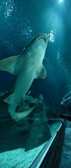 #Tubarao #Lambaru no #AquaRio - O maior #AquarioMarinho da #AmericadoSul. Photo: #AlexandreMacieira | #RiodeJaneiro #Brasil