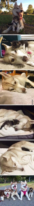 Husky adopts kitten. cute level: over 9000!