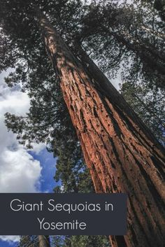 See some of the largest living things on Earth at the Mariposa Grove of Giant Sequoias - Yosemite National Park in California