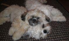 My shih tzu puppies taking a nap