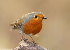 Robin - Walesbirder Thoughts... | Flickr - Photo Sharing!