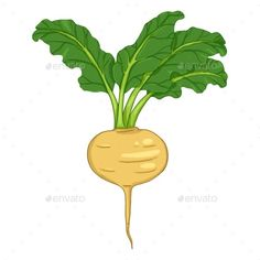 Buy Vector Cartoon Turnip with Green Leaves by nikiteev on GraphicRiver. Vector Cartoon Yellow Turnip with Green Leaves Leaves Vector, Green Leaves, Vector Graphics, Symbols, Cartoon, Video Tutorials, Illustration, Yellow, Beauty
