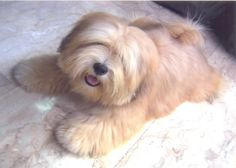I'm soooo cute! Little Puppies, Cute Puppies, Dogs And Puppies, Doggies, Lhasa Apso Puppies, Havanese Puppies, Cute Small Dogs, Cute Dogs, Bad Dog Breath