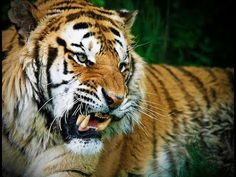 National geographic Animal Documentary - Tigers Fighting Back - YouTube