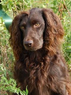 Boykin Spaniel. Looks just like my Lee!