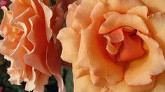 Rose Garden in Balboa Park, San Diego