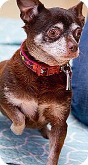 New York, NY - Chihuahua. Meet Heidi! ***FOSTER NEEDED***, a dog for adoption. http://www.adoptapet.com/pet/12766570-new-york-new-york-chihuahua