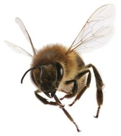 Colony Collapse Disorder Honey Bee | the mysteries of honey bee decline and Colony Collapse Disorder ...