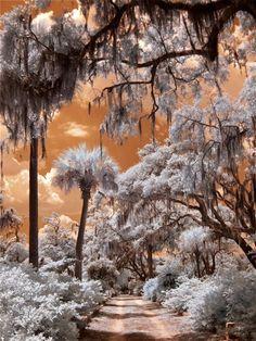 Bonaventure Cemetery, Savannah, GA (infrared) photo by Dick Bjornseth