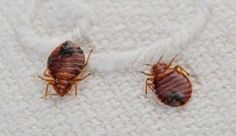 Home remedies for bed bugs. Home remedies to get rid of bed bugs. How to get rid of bed bugs naturally? Home remedies to kill bed bugs. Home remedy bed bugs