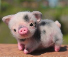 A mini pig Tiny Baby Animals, Baby Animals Super Cute, Baby Animals Pictures, Cute Animal Photos, Cute Little Animals, Cute Baby Pigs, Cute Baby Cow, Cute Piglets, Super Cute Puppies