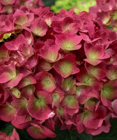 Love this 'Raspberry Limeade' Hydrangea - Set of Two on #zulily! #zulilyfinds