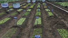 Growing a plant to maturity in plug trays might be foreign to ornamental growers, but with a little help from plug tray manufacturers and breeders, there is little to hold growers back in this root crop category. Petunias, Perfect Match, Stepping Stones, Plugs, Nursery, Vegetables, Trials, Outdoor Decor, California