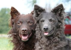 FCI BestMudi Kennel & Dog training - The BestMudi litter Coyotes, Hungarian Dog, Gato Animal, Farm Dogs, Animal Room, Dog List, Pet Breeds, Dog Rooms, Wild Dogs