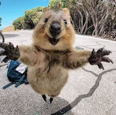 It's Impossible to be Grumpy After You See These Quokka Pics - Neatorama