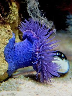 iridescent purple sea anemone