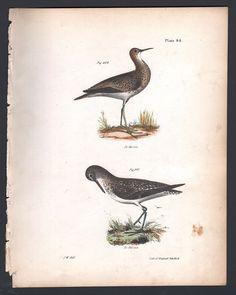 GREY PLOVER and SOLITARY TATLER - Original 1845 DeKay H/C Bird Print