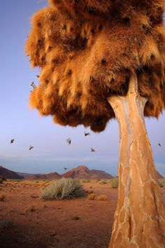 The axe forgets, but the tree remembers... ~African saying | Nesting birds, Northern Cape, South Africa
