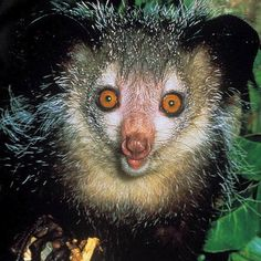 The aye-aye is a rodent-like animal native to Madagascar. With squirrel-esque chompers and thin middle fingers, the aye-aye is quite adept at prying food out of trees and being oddly cute.