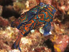 Aquarium Fish - Mandarin Fish