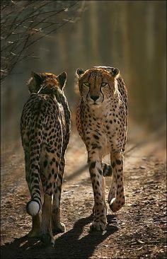 Cheetah Conservation Fund www.cheetah.org …