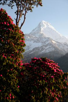 rhododendron forests  nepal